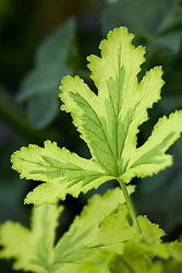 Scented leaved Pelargonium 'Charity'