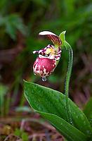 Lady's slipper orchid in Kodiak, Alaska meadow