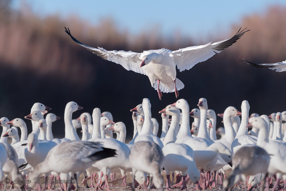 For a wonderful moment, we are part of the Snow Goose flock as this Snow Goose lands. Love the pink legs.
