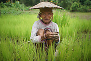 Penan elderly woman, Sigangsey, in rice paddy. The Penan native people are learning to live a sedentary lifestyle which includes living in wooden houses, farming and fishing. They were traditionally nomadic hunter-gatherers. These days they have become forcibly settled as their hunting grounds have been largely destroyed by logging concessions and palm-oil plantations.<br /> <br /> There are only a few, difficult to find, scarce communities of semi-nomadic Penan nowadays, who live like of those of old, hidden away deep in the tropical forest, hunter-gathering, wearing loin cloth 'chawats', hunting wild boar with blowpipes and poison arrows, and extracting sago-root flour, their staple carbohydrate, by hand.<br /> <br /> Borneo native peoples and their rainforest habitat revisited two decades later: 1989/1991 and 2012/2014/2015. <br /> <br /> Sarawak's primary rainforests have been systematically logged over decades, threatening the sustainable lifestyle of its indigenous peoples who relied on nomadic hunter-gathering and rotational slash & burn cultivation of small areas of forest to survive. Now only a few areas of pristine rainforest remain; for the Dayaks and Penan this spells disaster, a rapidly disappearing way of life, forced re-settlement, many becoming wage-slaves. Large and medium size tree trunks have been sawn down and dragged out by bulldozers, leaving destruction in their midst, and for the most part a primary rainforest ecosystem beyond repair. Nowadays palm oil plantations and hydro-electric dam projects cover hundreds of thousands of hectares of what was the world's oldest rainforest ecosystem which had some of the highest rates of flora and fauna endemism, species found there and nowhere else on Earth, and this deforestation has done irreparable ecological damage to that region