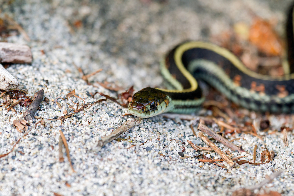 Common Garter Snake (Thamnophis sirtalis) on a beach at Hicks Lake in Sasquatch Provincial Park, British Columbia, Canada
