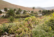 Green vegetation in village of Betancuria, Fuerteventura, Canary Islands, Spain