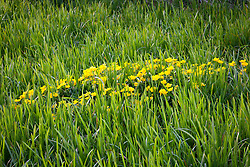 Kingcup growing in a boggy area. Marsh marigold. Caltha palustris