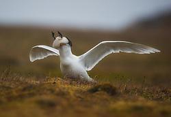Glaucous Gull (larus hyperboreus) trying to svallow a gulliemot chick, Spitsbergen, Svalbard