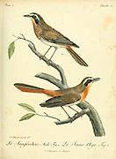 janfrédéric [janfrederic] from the Book Histoire naturelle des oiseaux d'Afrique [Natural History of birds of Africa] Volume 3, by Le Vaillant, François, 1753-1824; Publish in Paris by Chez J.J. Fuchs, libraire 1799 - 1802
