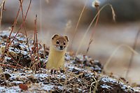 Mountain weasel, Mustela altaica, looking out from a hole in the ground, Xiang you, 香鼬, China, Sichuan Province, Garze Prefecture, Serxu County.