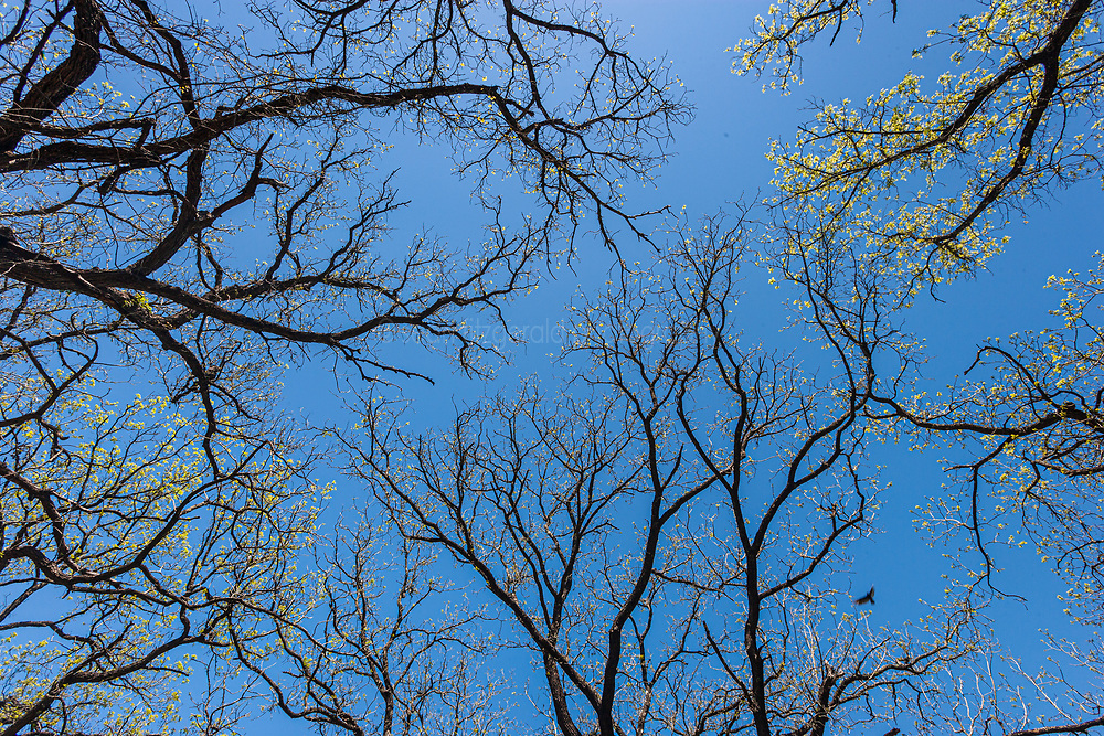 Spring buds on trees and blue sky, Hill Country between Blanco and Fredericksburg, Texas, USA