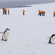 Chinstrap penguins on Half Moon island with Seabourn guests. Antarctica.