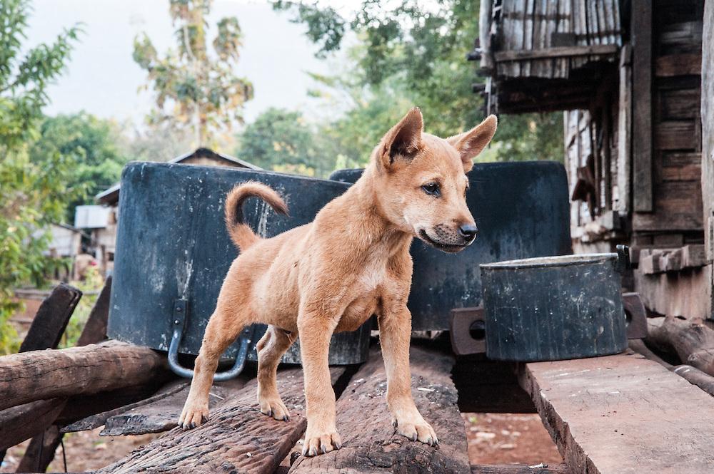 A village dog on a porch, Laos