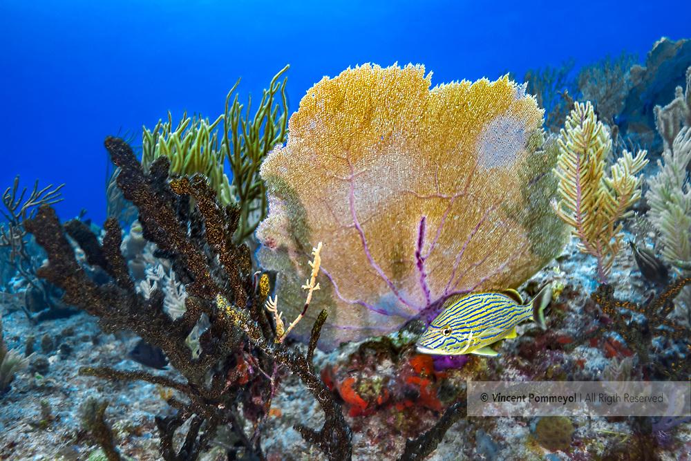 Blue striped grunt-bleue (Haemulon sciurus), Playa del carmen, Yucatan peninsula, Mexico.
