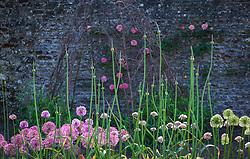 Allium 'Summer Drummer' rising above the lower alliums at Parham House.
