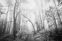 Black & White Photo of Hiking Trail Through Foggy Eucalyptus Forest, San Francisco, California