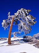 Rime ice coated Jeffrey Pines, Pinus jeffreyi, atop Sentinel Dome, winter, Yosemite National Park, California.