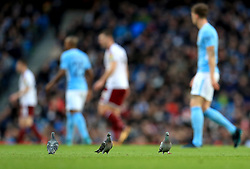 Pigeons on the pitch at the Etihad Stadium