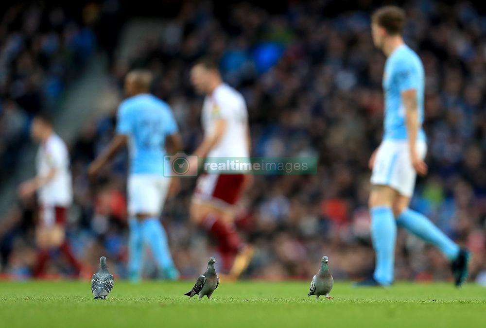 Pigeons on the pitch at the Etihad Stadium