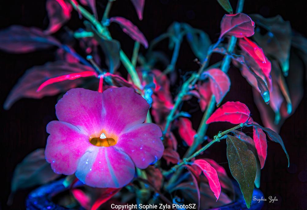 Fairy Moon Thunbergia erecta in UV