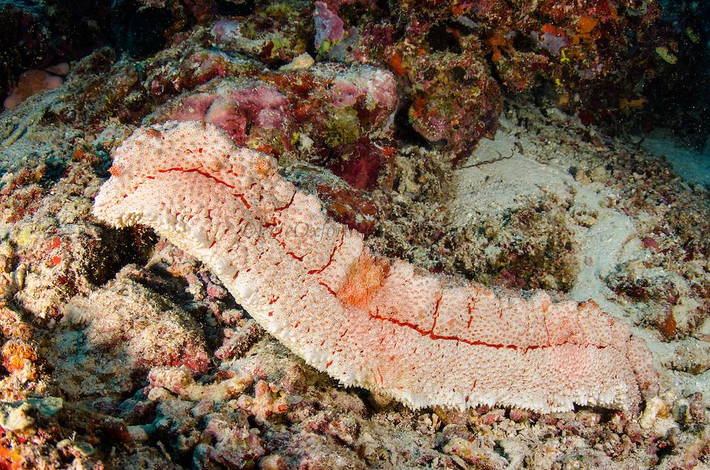 Amberfish Sea Cucumber (Thelenota anax)<br /> Cenderawasih Bay<br /> West Papua<br /> Indonesia
