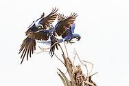 Hyazinth-Ara (Anodorhynchus hyacinthinus) im Norden des Pantanals, Transpantaneira, Brasilien<br /> <br /> Hyacinth macaw in the northern Pantanal, Tranpantaneira, Brazil