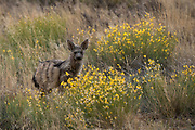 Aardwolf (Proteles cristatus)<br /> Private game ranch<br /> Great Karoo<br /> SOUTH AFRICA