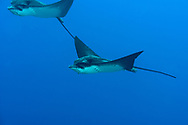 White-spotted Eagle Ray, Spotted Eagle Ray, Aetobatus narinari, (Euphrasén, 1790), Maldives