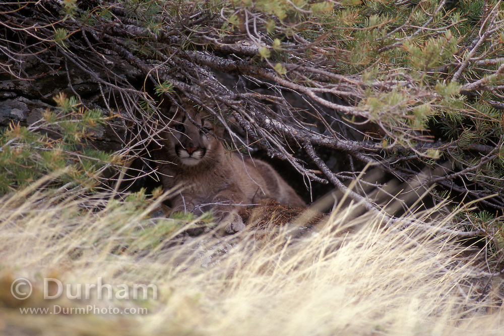 Juvenile female cougar (Felis Concolor) hiding in tree well. Range: North America - Canada south to South America.