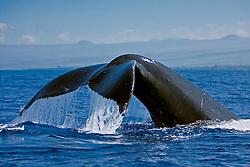 humpback whale, Megaptera novaeangliae, fluke-up dive, Kohala Coast, Big Island, Hawaii, USA, Pacific Ocean