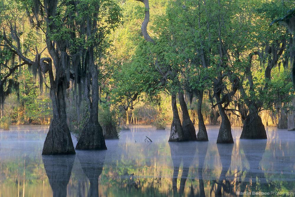 Mist, early morning light, and tupelo gum trees (Nyssa aquatica), spring, Merchant's Millpond State Park, North Carolina