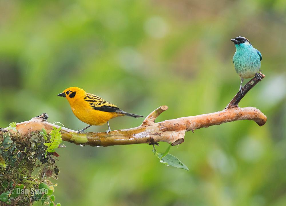 Golden tanager, Tangara arthus goodsoni (left), and golden-naped tanager, Tangara ruficervix. Tandayapa Valley, Ecuador