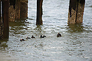 A group of Surf Scoters drift in past the end of the pier heading toward a feeding area.