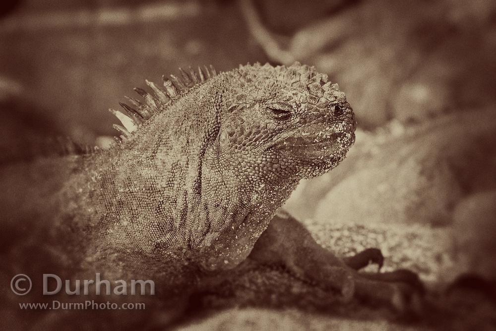 A marine iguana (Amblyrhynchus cristatus) on Espanola Island, Galapagos Archipelago - Ecuador.