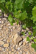 Soil detail. Calcareous. Mas Montel, Sommieres, Languedoc, France