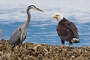 a Bald Eagle (Haliaeetus leucocephalus) eyes a Great Blue Heron (Ardea herodias) along a Pacific Oyster bed on the shore of the Hood Canal of Puget Sound, Washington, USA