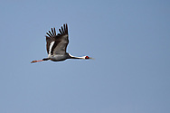 White-naped Crane, Grus vipio, flying in front of blue sky in Inner Mongolia, China