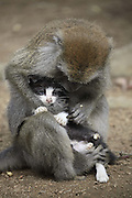 BINTAN ISLAND, INDONESIA -<br /> <br /> Long Tailed Monkey Acts As Mother To A Kitten<br /> <br /> Kimon, an eight year old, female long-tailed monkey sits with a kitten, whom, she treats as her baby in Bintan Island, Indonesia.<br /> MEET the moggy-loving monkey who thinks her pet cat is her baby. Motherly Kimon has such strong maternal instincts that she treats eight-year-old feline just like one of her own off-spring. The cute pictures show Kimon the long-tailed macaque grooming the cat, who Kimon raised since she was a kitten, just like she would to her own baby. Other images show Kimon carrying the cat around like a baby monkey and the pair cuddling up together. The unusual pair live together on Bintan Island, near Sumatra in Indonesia where photographer Yuli Seperi photographed them together.<br /> ©Yuli Seperi/Exclusivepix Media