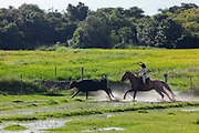 Young boy Gaucho cowboy Brazilian riding a horse through water, rounding up cattle, splash, dramtic, afternoon light. Working Gaucho Fazenda in Rio Grande do Sul, Brazil.
