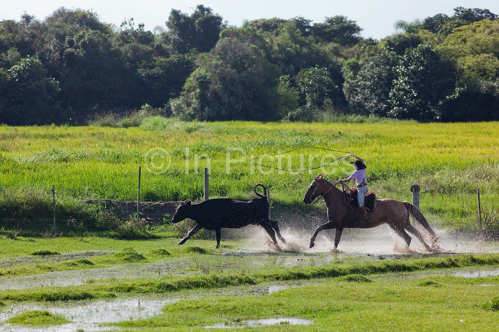 Young boy Gaucho cowboy Brazilian riding a horse through water, rounding up cattle, splash, dramtic, afternoon light. Working Gaucho Fazenda in Rio Grande do Sul, Brazil.