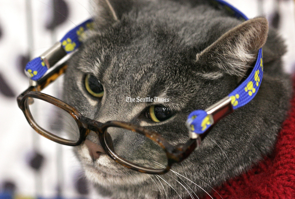 """Maxine, who earned a first place ribbon for """"Most Well Behaved,"""" has been dressed in costumes since her first Halloween. The grey tabby won """"Miss Personality"""" in the Average Joe Cat Show competition.<br /> Betty Udesen / The Seattle Times"""