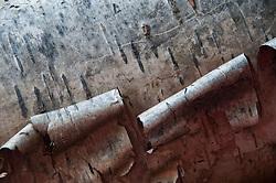 Birch Bark Detail, Holland, Massachusetts, US