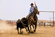 Wilsall Ranch Rodeo, Wild Cow Milking  Competition, Kurt Mraz, Lazy SR Ranch team, Montana, MODEL RELEASED, PROPERTY RELEASED horse & rider