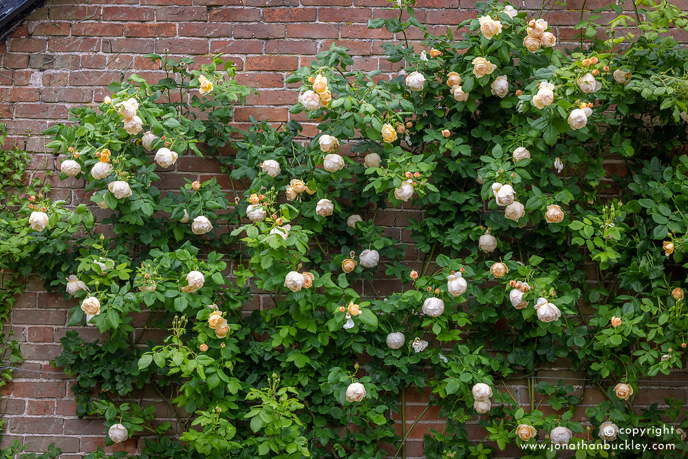 Rosa 'Wollerton Old Hall' syn. 'Ausblanket' growing on a wall