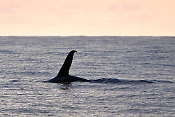 transient orca or killer whale, Orcinus orca, male dorsal fin - killer whale sightings in Hawaiian waters are extremely rare, Kona Coast, Big Island, Hawaii, USA, Pacific Ocean