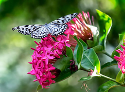 A Paper Kite Butterfly Rests On Top Of Fluid Pink Floral Blossoms In The Garden.<br /> <br /> The Paper Kite, Rice Paper, or Large Tree Nymp butterfly (Idea leuconoe) is known especially for its presence in butterfly greenhouses and live butterfly expositions. The Paper Kite is of Southeast Asian origin.