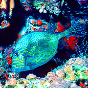 Scrawled Cowfish swim about a wide range of habitats from reefs to walls to sea grass beds in Tropical West Atlantic; picture taken Grand Cayman