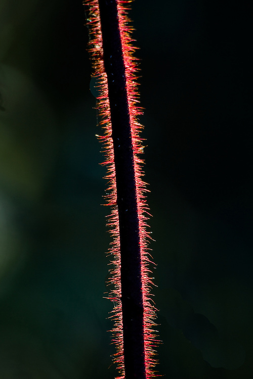 Red Thorns of a plant highlighted by the sun.
