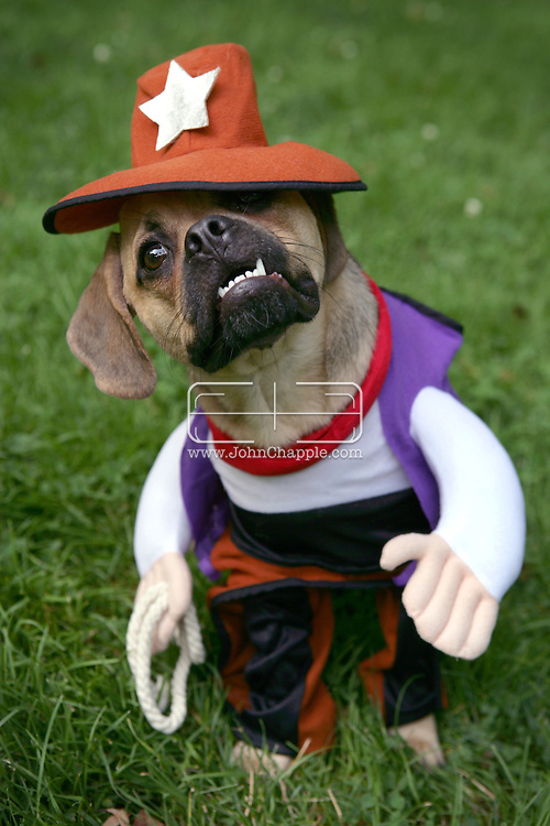 15th July 2006. New York, NY. Ozzie the puggle wears his cowboy outfit...PHOTO © JOHN CHAPPLE / WWW.JOHNCHAPPLE.COM..THIS COPYRIGHTED IMAGE MUST NOT BE USED WITHOUT PERMISSION
