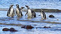 Magellanic Penguin (Spheniscus magellanicus). Image taken with a Leica T camera and 18-56 mm lens.