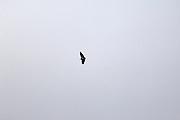 Saraguro - Friday, Jan 04 2008: An Andean Condor (Vultur gryphus) flying near Saraguro, Loja Province, Ecuador.  (Photo by Peter Horrell / http://www.peterhorrell.com)