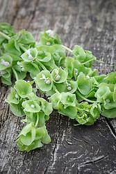 Moluccella laevis - Bells of Ireland, Irish green bells, Needles and thread, Old maid's nightcap, Shell flower