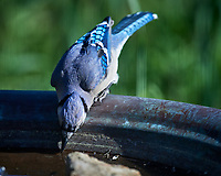 Blue Jay Image taken with a Nikon D5 camera and 600 mm f/4 VR lens (ISO 280, 600 mm, f/5.6, 1/1250 sec).
