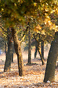 The oak plantation forest at La Truffe de Ventoux truffle farm, Vaucluse, Rhone, Provence, France